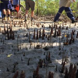 mangrovemud_klmckee